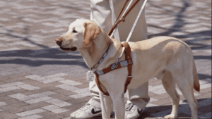 one year old guide dog