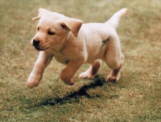 little guide dog